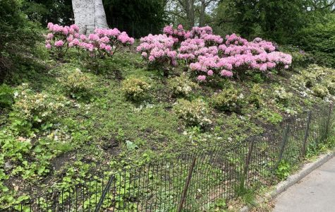Pink flower bushes bloom in the warm weather bearing fruits of park workers' labor.
