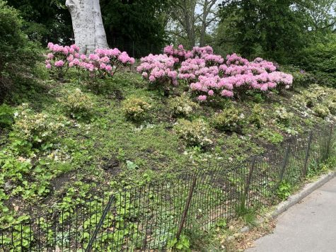 Pink flower bushes bloom in the warm weather bearing fruits of park workers