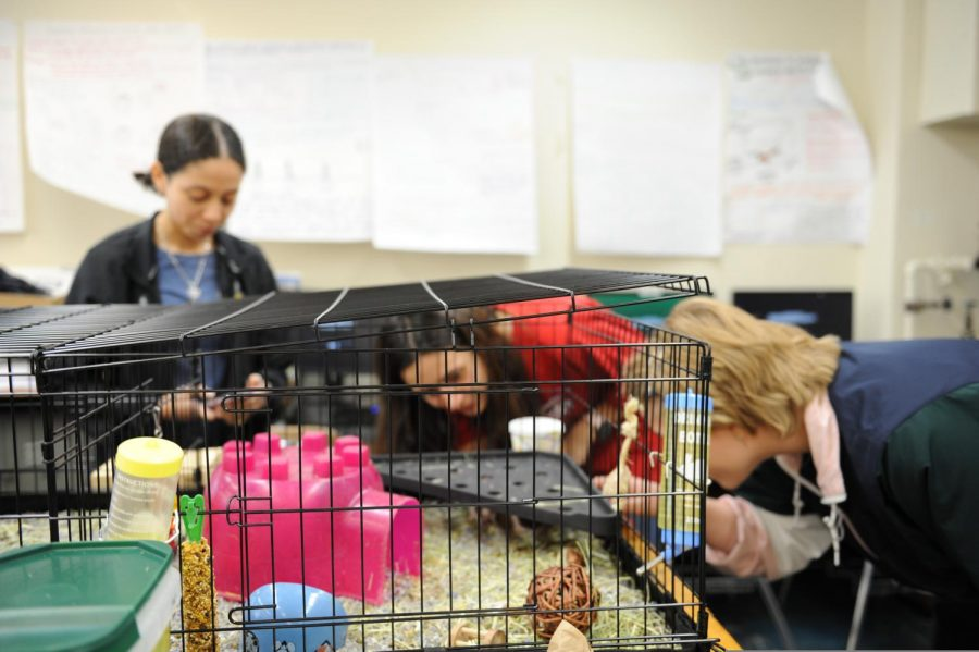 Students obersve the guinea pigs in their cages.