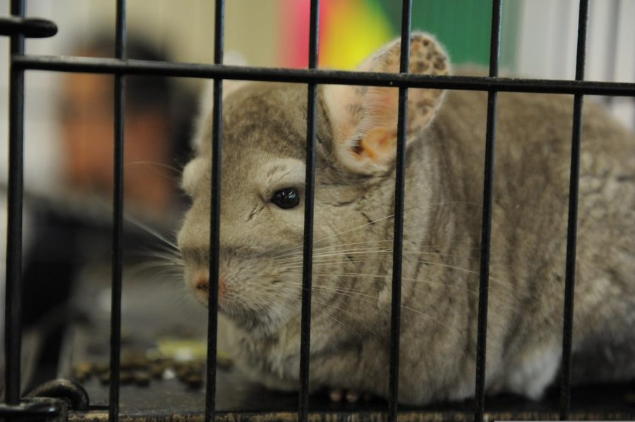 A chinchilla is relaxing in their cage.