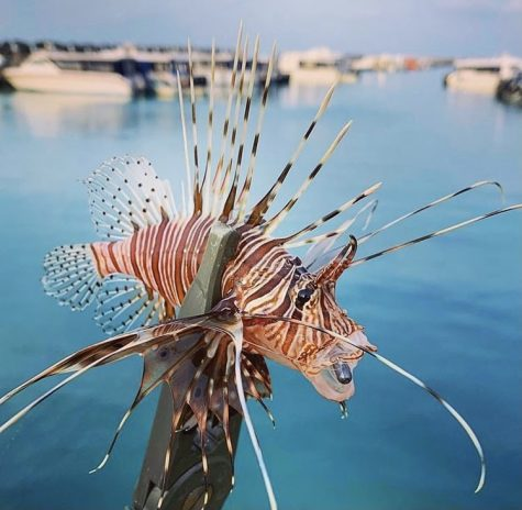 The poisonous spikes of the red lionfish induce pain and sweating and, in extreme cases, respiratory problems and paralysis, but baking the spines render them harmless.