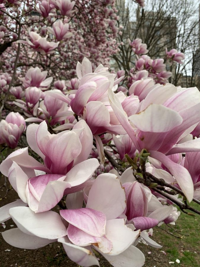 Magnolias+are+ancient+trees.+Their+lineage+stretches+back+to+fossilized+samples+dated+at+some+2+million+years+old.++They+have+been+theorized+to+have+been+around+for+longer+than+bees%2C+as+one+of+very+few+flowers+dotting+the+landscape+as+beetles+were+the+best+insects+to+conduct+pollination+at+the+time.++This+particular+plant+is+the+Magnolia+x+soulangeana%2C+or+saucer+magnolia.++Originally+bred+by+a+French+plantsman+in+the+early+1820s%2C+it+flowers+early+in+the+spring%2C+and+was+planted+all+over+pastoral+landscapes+in+the+British+Isles.++As+Frederick+Law+Olmsted+and+Calvert+Vaux+sought+to+turn+Central+Park+into+an+English+romantic+pastoral+landscape%2C+it+was+an+easy+choice+to+place+this+plant+in+the+pre-planned+park.++It+is+an+imported+species+to+this+continent%2C+yet+is+a+prominent+feature+within+Central+Park%2C+and+an+example+of+its+nature%2C+nonetheless.%0A