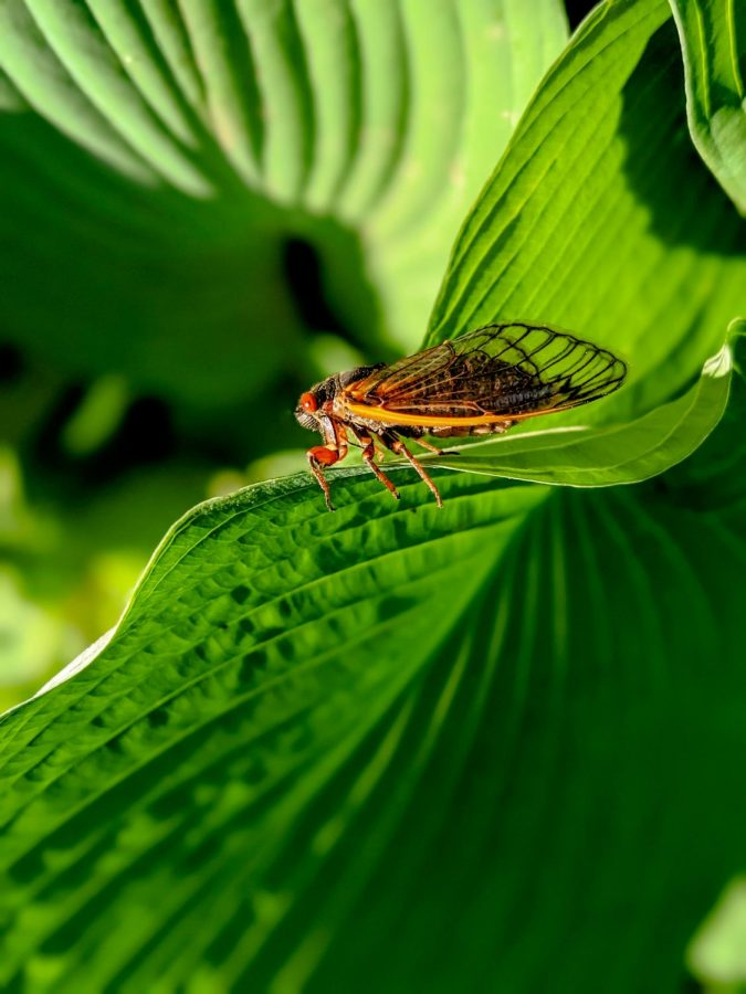 Cicadas range from 0.75 to 2.25  inches and emerge for up to 6 weeks during the summer months.